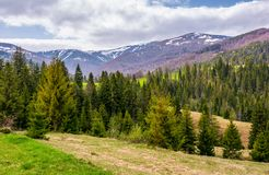 Conifer forest on a rolling hills in springtime Stock Photos