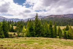 Conifer forest on a rolling hills in springtime Stock Images