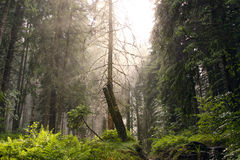 Conifer forest Royalty Free Stock Photography