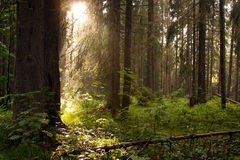 Conifer forest with sun rays Stock Photography