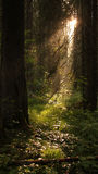Conifer forest with sun rays 02 Royalty Free Stock Image