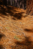 Conifer forest trail Royalty Free Stock Images