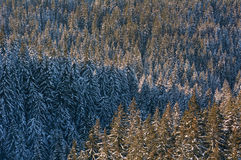 Conifer forest in winter. Conifer forest in winter in advance Royalty Free Stock Image