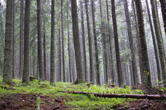 Conifer forrest royalty free stock images