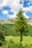 Conifer in front of high mountain Royalty Free Stock Photography
