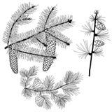 Conifer gałąź Zdjęcie Stock