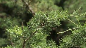 Conifer gałązki z małymi rożkami zbiory