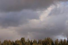 Conifer granica Zdjęcia Stock