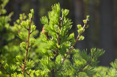 Conifer. Green background Stock Photos