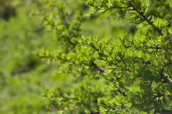 Conifer. Green background Royalty Free Stock Images