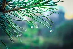 Conifer igły z wodnymi kroplami fotografia stock
