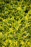 Conifer leaves & branches - evergreen foliage Stock Photo