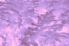Lavender colored conifer leaves. Royalty Free Stock Images