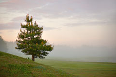 Conifer on misty morning Royalty Free Stock Photography