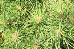 Conifer needles. Close up of green conifer needles in summer Stock Photos