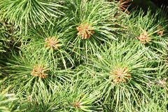 Conifer needles. Close up of green conifer needles in summer Royalty Free Stock Photography