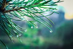 Conifer needles with water drops. stock photography