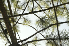 Conifer over sky composition Royalty Free Stock Photography