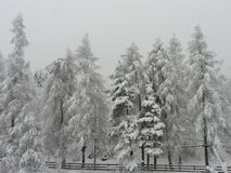 Conifer. In the picture are conifers under the snow and some barricade. it is cloudy and snowy, its winter time stock images