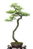 Conifer pine as bonsai tree Royalty Free Stock Photo