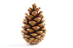 Conifer Pine Cone Royalty Free Stock Photography