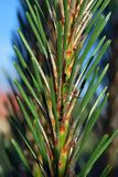 Conifer. Pine, a small tree with needles, green, fragrant, beautiful green grzewka royalty free stock photos