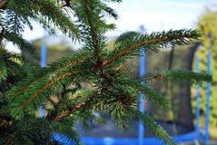 Conifer. Pine, a small tree with needles, green, fragrant, beautiful green grzewka royalty free stock photo