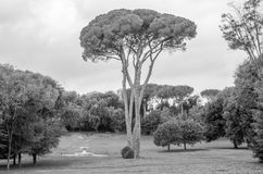 Conifer pine tree that stands in the midst of a field with grass, next to her is a stone historic fountain in park at Villa Pamphi Royalty Free Stock Image