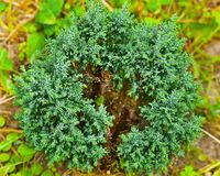 Conifer plant Royalty Free Stock Photo