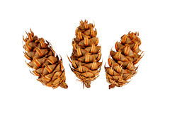 Conifer plugs Royalty Free Stock Photography