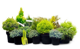 Conifer sapling trees in pots Royalty Free Stock Images