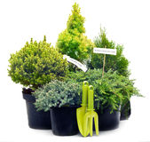 Conifer sapling trees in pots Royalty Free Stock Photos
