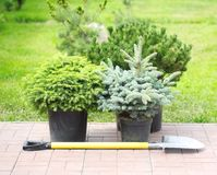 Conifer sapling trees in pots Royalty Free Stock Photo
