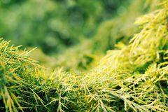 Conifer with shallow focus for background Stock Images