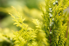 Conifer with shallow focus for background Royalty Free Stock Photography