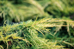 Conifer with shallow focus for background Royalty Free Stock Images
