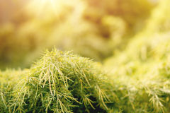 Conifer with shallow focus for background royalty free stock photo