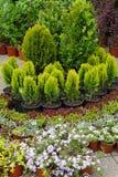 Conifer Stock Image