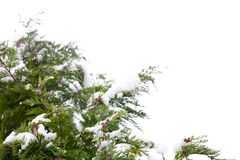 Conifer and snow Royalty Free Stock Images
