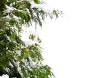 Conifer and snow. Isolated against a white background with copy space Royalty Free Stock Image