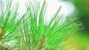 Conifer sosny zakończenie up zdjęcie wideo