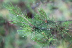 Conifer after summer shower Stock Images