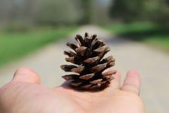 Conifer Szyszkowy pas ruchu Zdjęcia Royalty Free