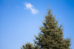 Conifer Royalty Free Stock Photos