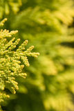 Conifer tree Royalty Free Stock Photography