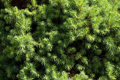 Conifer Tree Royalty Free Stock Photo