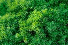 Conifer tree background Stock Images