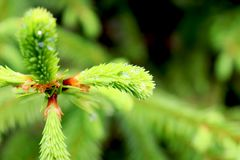 Conifer tree branch with a drops of dew. Russia. May royalty free stock image