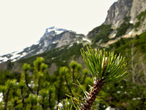 Conifer tree branch with mountains of High Tatra in background. A dwarf (small conifer tree, mountain pine) branch in front of the picture with rocky mountains royalty free stock photography