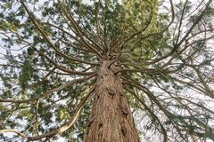 Conifer tree with branches like tentacles. Conifer tree with multiple branches reaching out like tentacles,  viewed from below Stock Photography